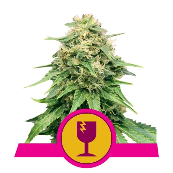 Royal Queen Seeds Critical feminized cannabis seeds (5 seeds pack)
