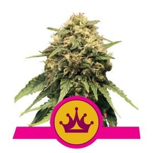 Royal Queen Seeds Special Queen feminized cannabis seeds (5 seeds pack)