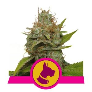 Royal Queen Seeds Kali Dog feminized cannabis seeds (3 seeds pack)