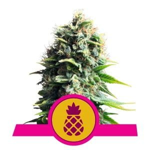 Royal Queen Seeds Pineapple Kush feminized cannabis seeds (3 seeds pack)