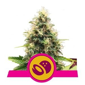 Royal Queen Seeds Somango XL feminized cannabis seeds (3 seeds pack)