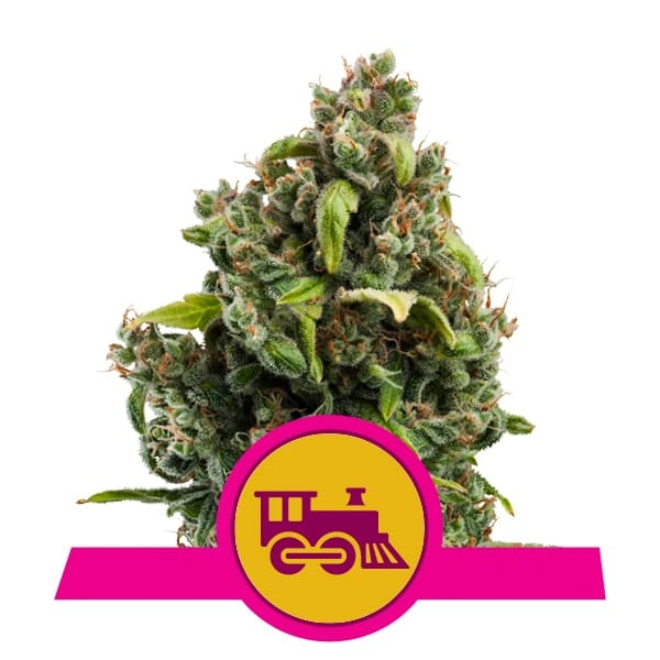 Royal Queen Seeds Candy Kush Express feminized cannabis seeds (5 seeds pack)