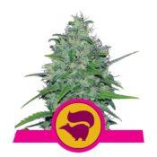 Royal Queen Seeds Skunk XL feminized cannabis seeds (3 seeds pack)