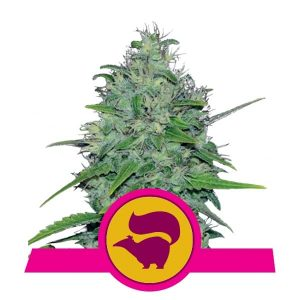 Royal Queen Seeds Skunk XL feminized cannabis seeds (3 seeds pack)