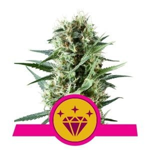 Royal Queen Seeds Special Kush feminized cannabis seeds (3 seeds pack)