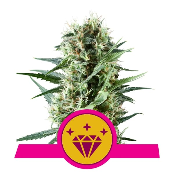 Royal Queen Seeds Special Kush feminized cannabis seeds (5 seeds pack)