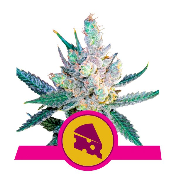 Royal Queen Seeds Royal Cheese feminized cannabis seeds (5 seeds pack)