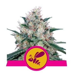 Royal Queen Seeds Honey Cream feminized cannabis seeds (5 seeds pack)