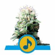 Royal Queen Seeds Dance World CBD cannabis seeds (3 seeds pack)