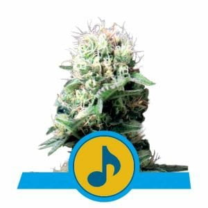 Royal Queen Seeds Dance World CBD cannabis seeds (3 seeds pack)