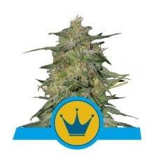 Royal Queen Seeds Royal Highness CBD cannabis seeds (5 seeds pack)