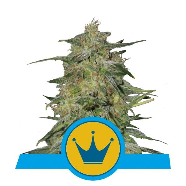 Royal Queen Seeds Royal Highness CBD cannabis seeds (5 seeds pack)