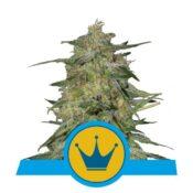 Royal Queen Seeds Royal Highness CBD cannabis seeds (3 seeds pack)