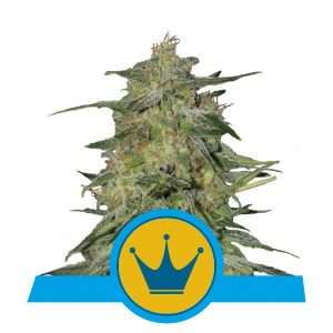 Royal Queen Seeds Royal Highness CBD cannabis seeds (3 seeds pack)