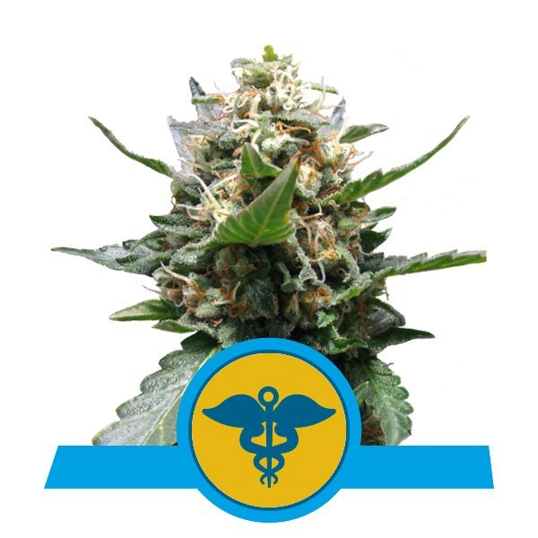 Royal Queen Seeds Royal Medic CBD cannabis seeds (5 seeds pack)
