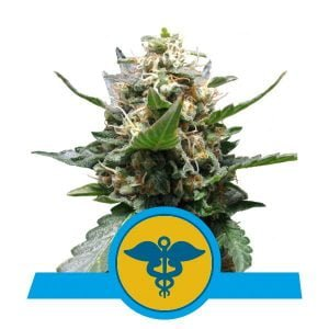 Royal Queen Seeds Royal Medic CBD cannabis seeds (3 seeds pack)