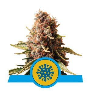 Royal Queen Seeds Euphoria CBD cannabis seeds (3 seeds pack)
