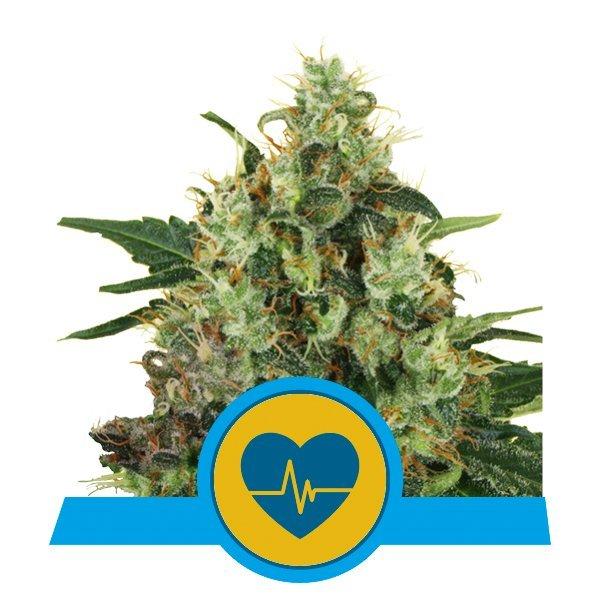 Royal Queen Seeds Medical Mass CBD cannabis seeds (5 seeds pack)