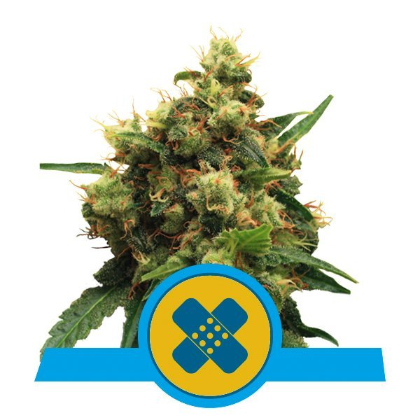 Royal Queen Seeds Pain Killer XL CBD cannabis seeds (5 seeds pack)