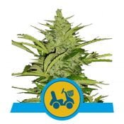 Royal Queen Seeds Fast Eddy Auto CBD cannabis seeds (3 seeds pack)