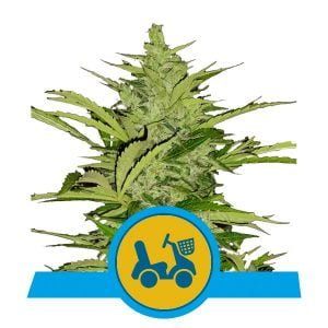 Royal Queen Seeds Fast Eddy Auto CBD cannabis seeds (5 seeds pack)