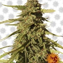 Barney's Farm Red Cherry Berry (3 seeds pack)