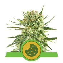Royal Queen Seeds Royal cookies autoflowering cannabis seeds (3 seeds pack)