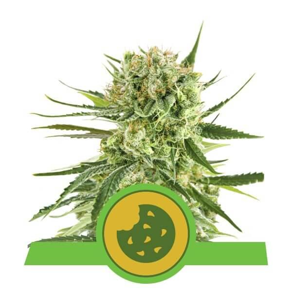 Royal Queen Seeds Royal cookies autoflowering cannabis seeds (3 seeds pack)