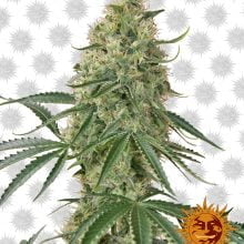 Barney's Farm Sin Tra Bajo Auto (5 seeds pack)