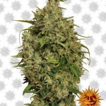 Barney's Farm Sweet Tooth (5 seeds pack)