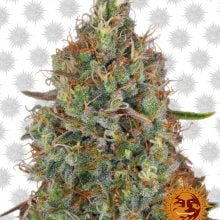 Barney's Farm Sweet Tooth Auto (5 seeds pack)