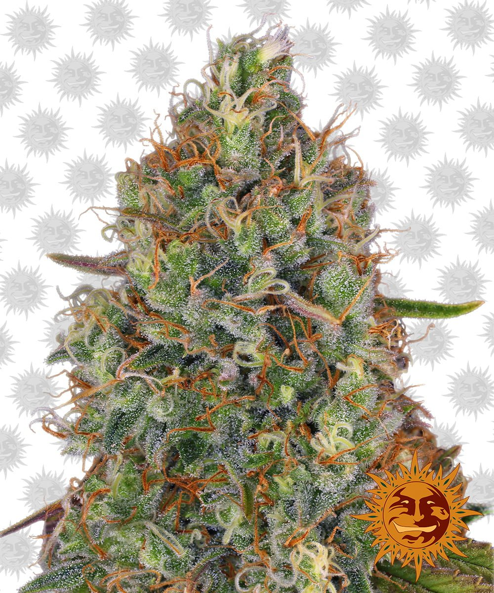 Barney's Farm Sweet Tooth Auto (3 seeds pack)