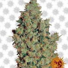 Barney's Farm Tangerine Dream (5 seeds pack)