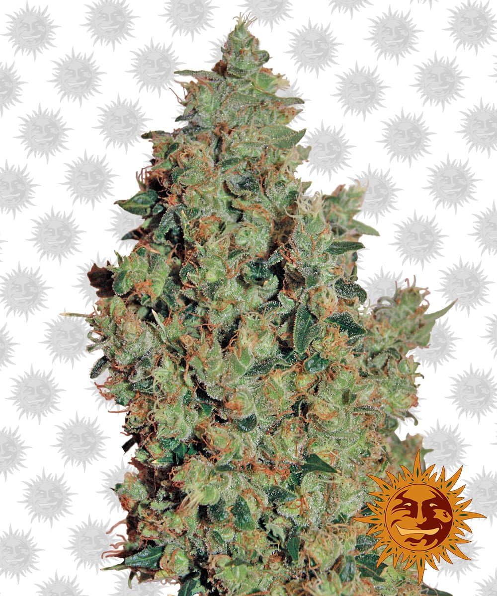 Barney's Farm Tangerine Dream (3 seeds pack)