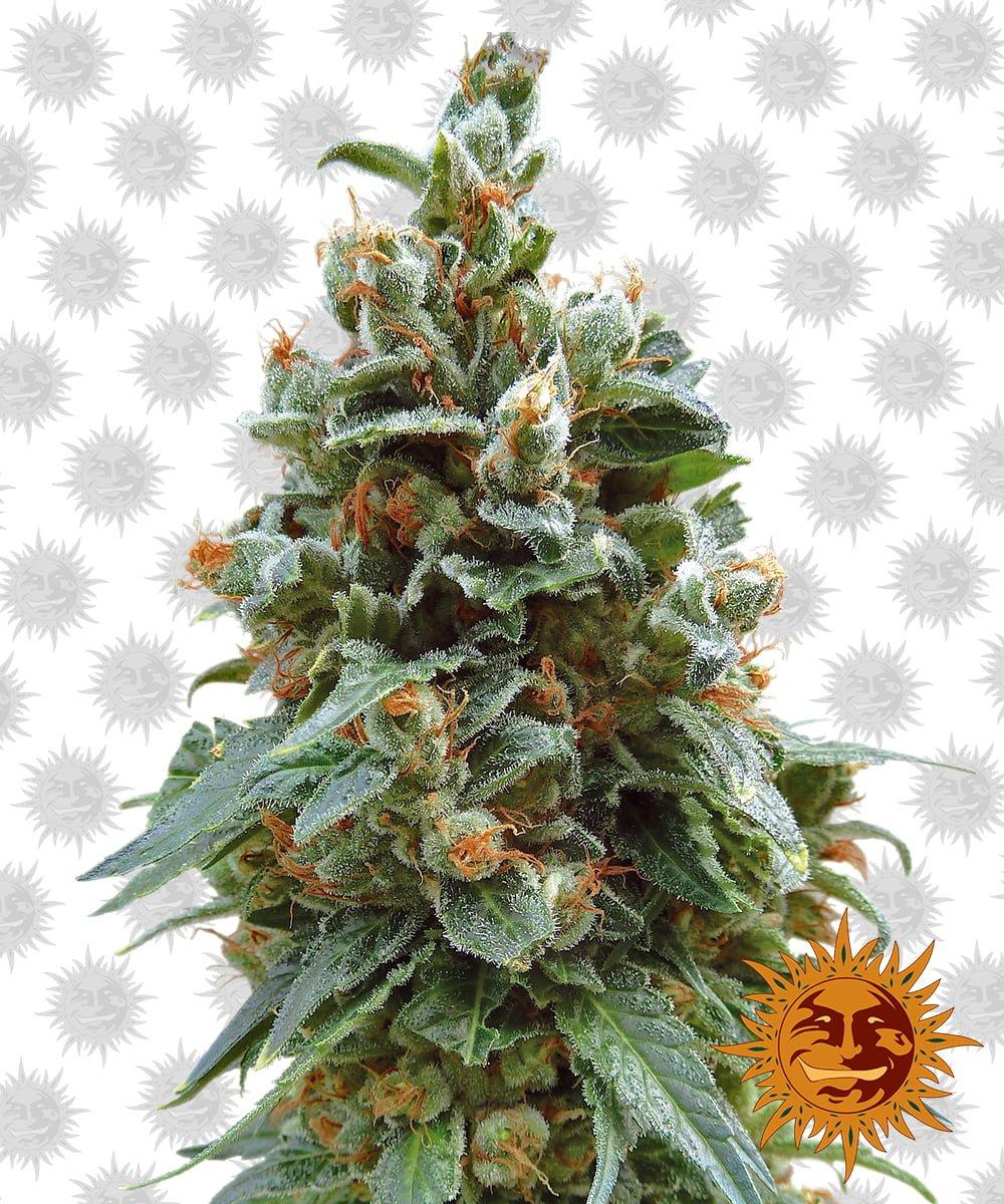Barney's Farm Vanilla Kush (3 seeds pack)