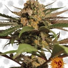 Barney's Farm Violator Kush (3 seeds pack)