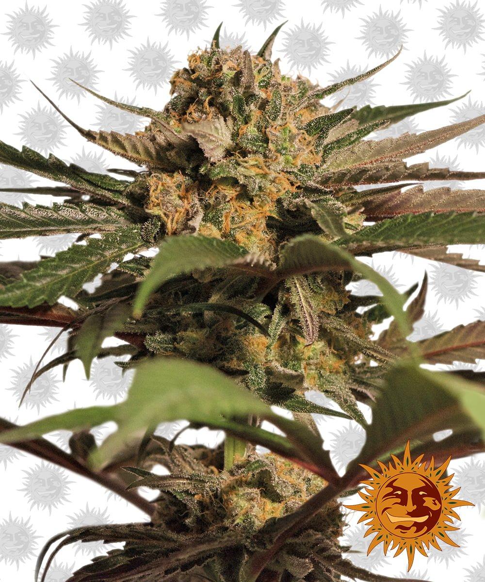 Barney's Farm Violator Kush (3 seeds pack)