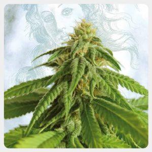 Kannabia - Afrodite (5 seeds pack)