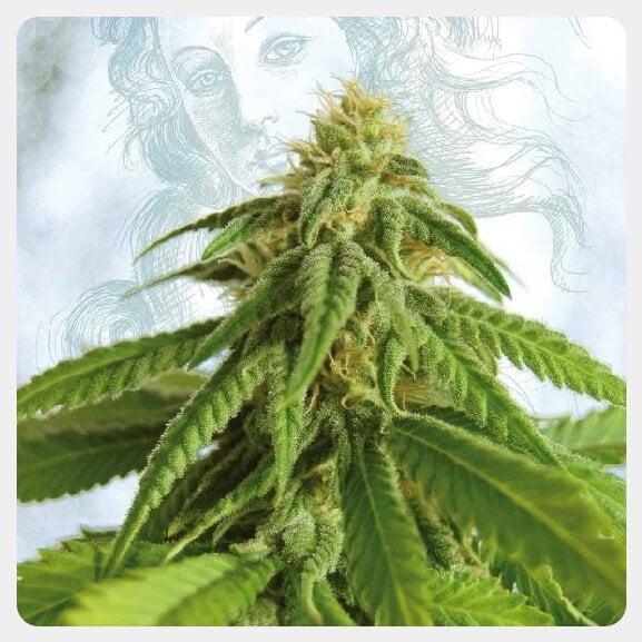 Kannabia - Afrodite (3 seeds pack)
