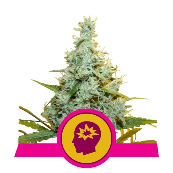 Royal Queen Seeds AMG feminized cannabis seeds (5 seeds pack)