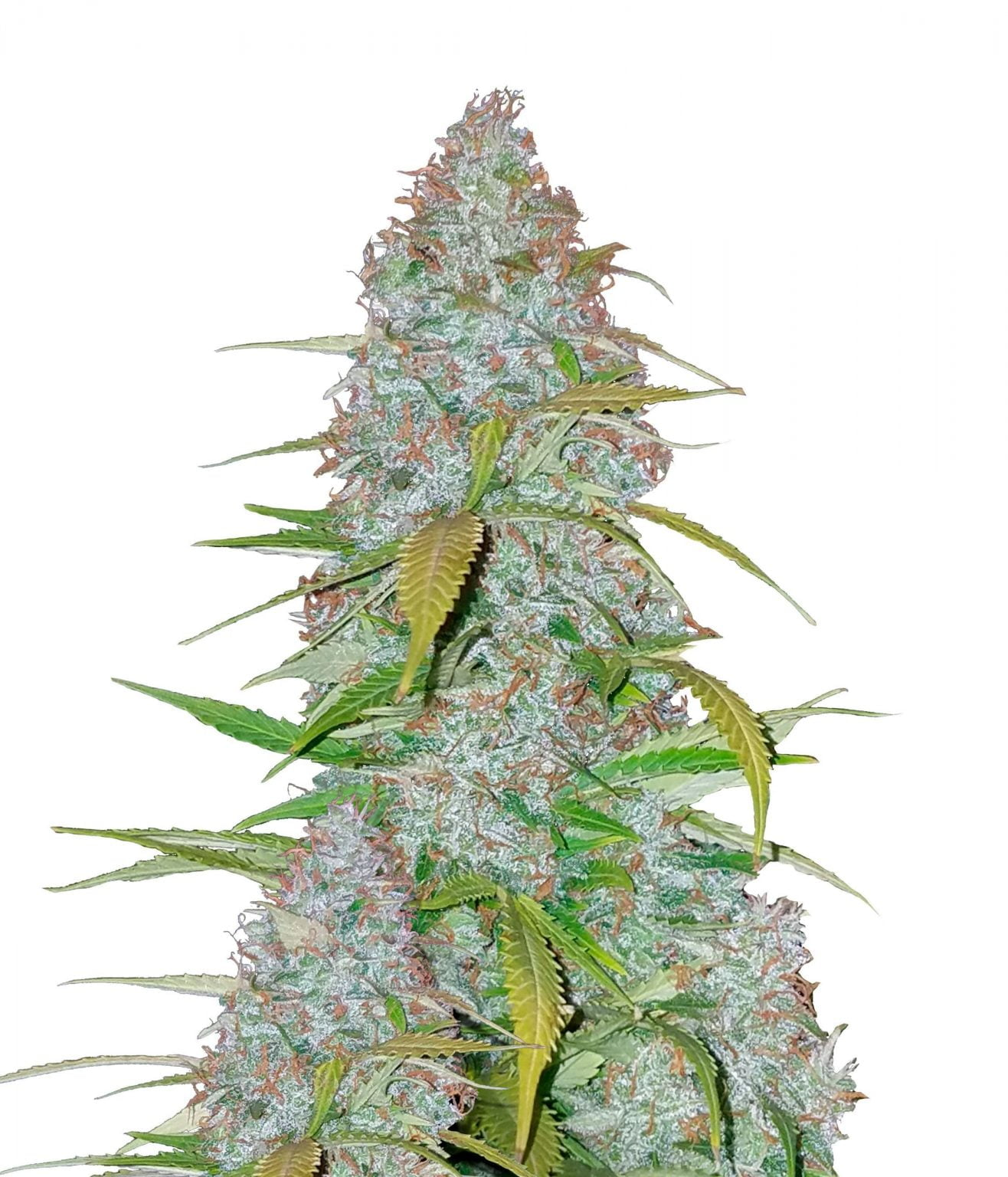 Fast Buds - Californian Snow (3seeds/pack)
