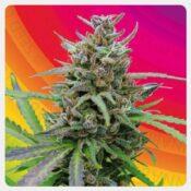 Kannabia - Baby Boom Auto (5 seeds pack)