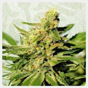 Kannabia - BCN Diesel CBD (3 seeds pack)