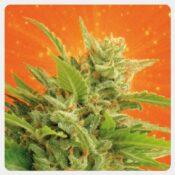 Kannabia - Big Band (3 seeds pack)