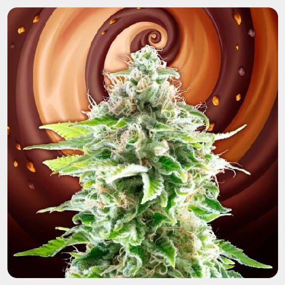 Kannabia - Cookies Haze (3 seeds pack)