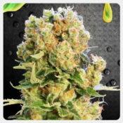 Kannabia - Diesel Glue (3 seeds pack)