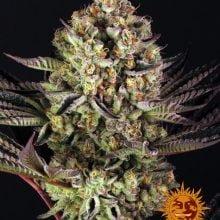 Barney's Farm Dos Si Dos 33 (5 seeds pack)