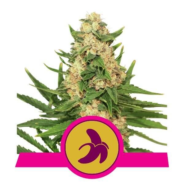 Royal Queen Seeds Fat Banana feminized cannabis seeds (3 seeds pack)