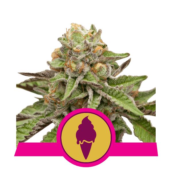 Royal Queen Seeds Green Gelato feminized cannabis seeds (5 seeds pack)