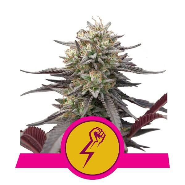 Royal Queen Seeds Green Punch feminized cannabis seeds (3 seeds pack)
